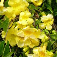 Peruvian Marigold